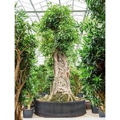 Фикус Алтиссима бонсай Диаметр горшка — 275 см Высота растения — 650 см