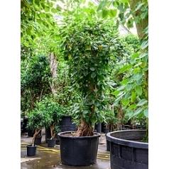 Фикус Алтиссима branched Диаметр горшка — 110 см Высота растения — 350 см