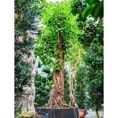 Фикус Алтиссима stam Диаметр горшка — 170 см Высота растения — 550 см