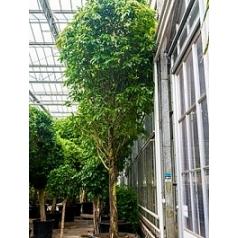 Фикус Амстел Кинг стебель Диаметр горшка — 110 см Высота растения — 650 см