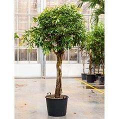 Фикус Амстел Кинг стебель Диаметр горшка — 65 см Высота растения — 300 см