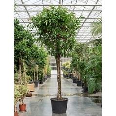 Фикус Амстел Кинг стебель Диаметр горшка — 80 см Высота растения — 400 см