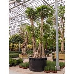 Фикус Амстел Кинг стебель Диаметр горшка — 160 см Высота растения — 500 см