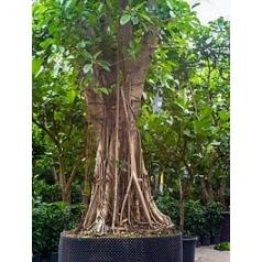 Фикус Бенгальский stam Диаметр горшка — 180 см Высота растения — 800 см
