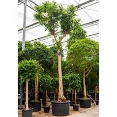 Фикус Бенджамина стебель Диаметр горшка — 120 см Высота растения — 800 см