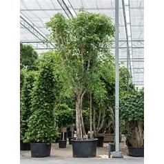Фикус Бенджамина стебель Диаметр горшка — 120 см Высота растения — 750 см