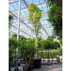 Фикус Бенджамина стебель Диаметр горшка — 160 см Высота растения — 850 см