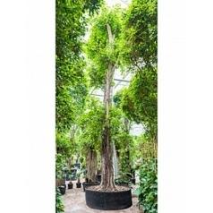 Фикус Бенджамина стебель Диаметр горшка — 195 см Высота растения — 900 см