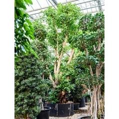 Фикус concinna стебель extra Диаметр горшка — 160 см Высота растения — 650 см