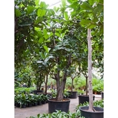 Фикус Лира branched Диаметр горшка — 120 см Высота растения — 550 см