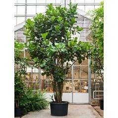 Фикус Лира multi стебель Диаметр горшка — 110 см Высота растения — 550 см