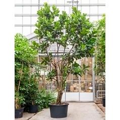 Фикус Лира multi стебель Диаметр горшка — 110 см Высота растения — 600 см