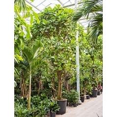 Фикус Лира multi стебель Диаметр горшка — 90 см Высота растения — 575 см
