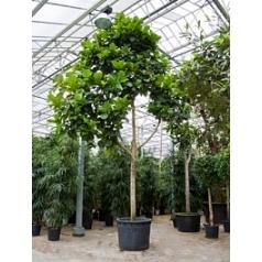 Фикус Лира стебель (600-775) Диаметр горшка — 120 см Высота растения — 700 см