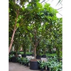 Фикус Лира стебель branched Диаметр горшка — 120 см Высота растения — 600 см