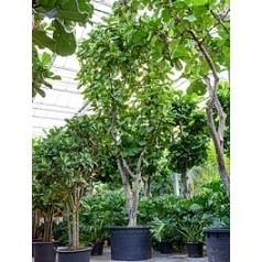 Фикус Лира стебель branched Диаметр горшка — 120 см Высота растения — 850 см