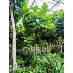 Фикус Лира стебель Диаметр горшка — 90 см Высота растения — 500 см