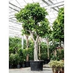 Фикус Лира стебель Диаметр горшка — 90 см Высота растения — 550 см