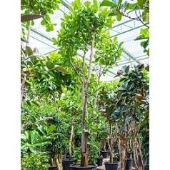 Фикус Лира стебель Диаметр горшка — 95 см Высота растения — 650 см