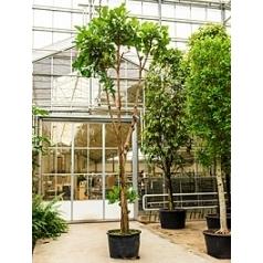 Фикус Лира стебель Диаметр горшка — 95 см Высота растения — 700 см