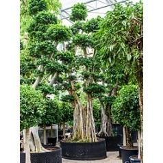 Фикус Микрокарпа compacta бонсай branched Диаметр горшка — 160 см Высота растения — 550 см