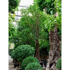 Фикус Микрокарпа compacta стебель Диаметр горшка — 95 см Высота растения — 650 см