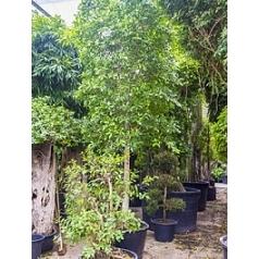 Фикус Нитида стебель Диаметр горшка — 95 см Высота растения — 550 см