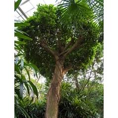 Фикус Нитида стебель Диаметр горшка — 150 см Высота растения — 550 см