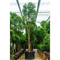 Фикус Нитида стебель Диаметр горшка — 140 см Высота растения — 800 см