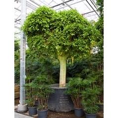 Фикус Нитида стебель Диаметр горшка — 150 см Высота растения — 425 см