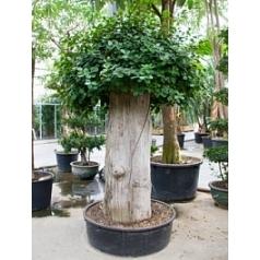 Фикус pa стебель extra (260-280) Диаметр горшка — 95+ см Высота растения — 270 см