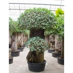 Фикус pa стебель extra (275-325) Диаметр горшка — 110 см Высота растения — 280 см