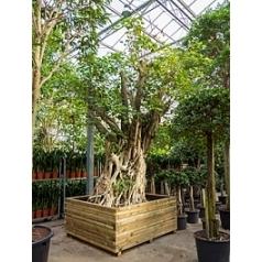 Фикус Религиоза бонсай Диаметр горшка — 205/185 см Высота растения — 600 см