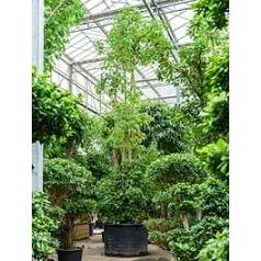 Фикус Религиоза стебель Диаметр горшка — 130 см Высота растения — 775 см