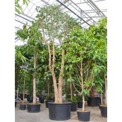 Фикус Религиоза стебель Диаметр горшка — 150 см Высота растения — 850 см