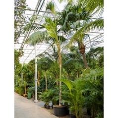 Ховея Форстериана стебель Диаметр горшка — 85 см Высота растения — 600 см