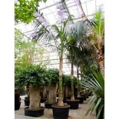 Ховея Форстериана стебель Диаметр горшка — 95 см Высота растения — 700 см