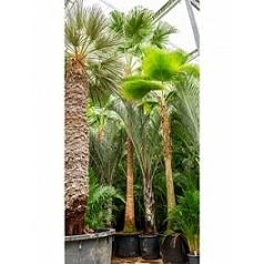 Ливистона chinensis стебель Диаметр горшка — 115 см Высота растения — 800 см