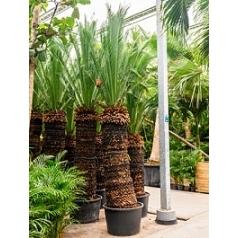 Макрозамия moorei стебель (200) Диаметр горшка — 80 см Высота растения — 350 см