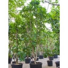 Михелия Альба branched Диаметр горшка — 120 см Высота растения — 750 см