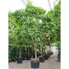 Михелия Альба стебель Диаметр горшка — 95 см Высота растения — 700 см