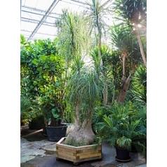 Нолина recurvata 2-стебель Диаметр горшка — 140/160 см Высота растения — 400 см