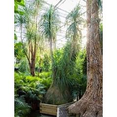 Нолина recurvata 2-стебель Диаметр горшка — 140/160 см Высота растения — 450 см