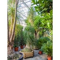 Нолина recurvata стебель Диаметр горшка — 110/130 см Высота растения — 450 см