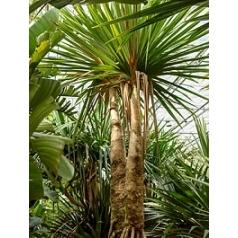 Панус utilis 2-стебель Диаметр горшка — 120 см Высота растения — 500 см