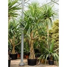 Панус utilis branched 3 arm Диаметр горшка — 90 см Высота растения — 550 см