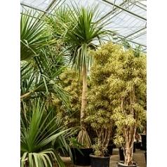 Панус utilis стебель Диаметр горшка — 110 см Высота растения — 700 см
