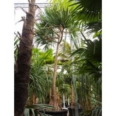 Панус utilis стебель Диаметр горшка — 140 см Высота растения — 750 см