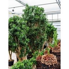 Плеомел (нолина-драцена) reflexa branched Диаметр горшка — 100 см Высота растения — 550 см