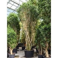 Плеомел (нолина-драцена) song of jamaica branched Диаметр горшка — 90 см Высота растения — 525 см